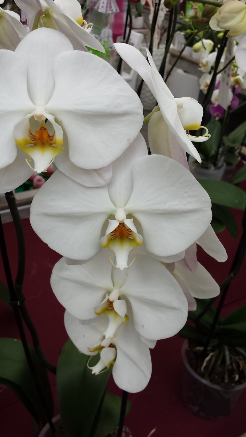 Orchidée phalaenopsis blanche