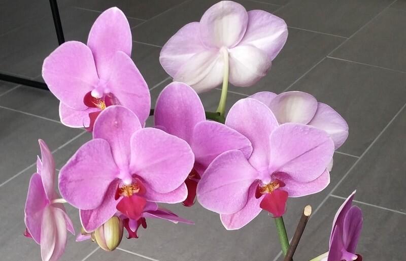 Orchid es phalaenopsis entretien soin les conseils orkideo - Entretien orchidee phalaenopsis ...