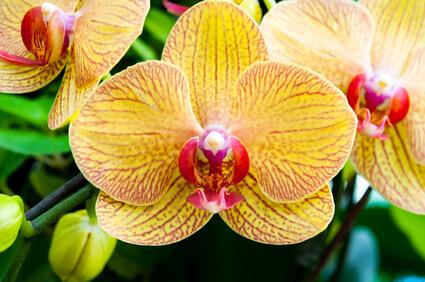 arrosage orchid e comment bien arroser sa phalaenopsis. Black Bedroom Furniture Sets. Home Design Ideas