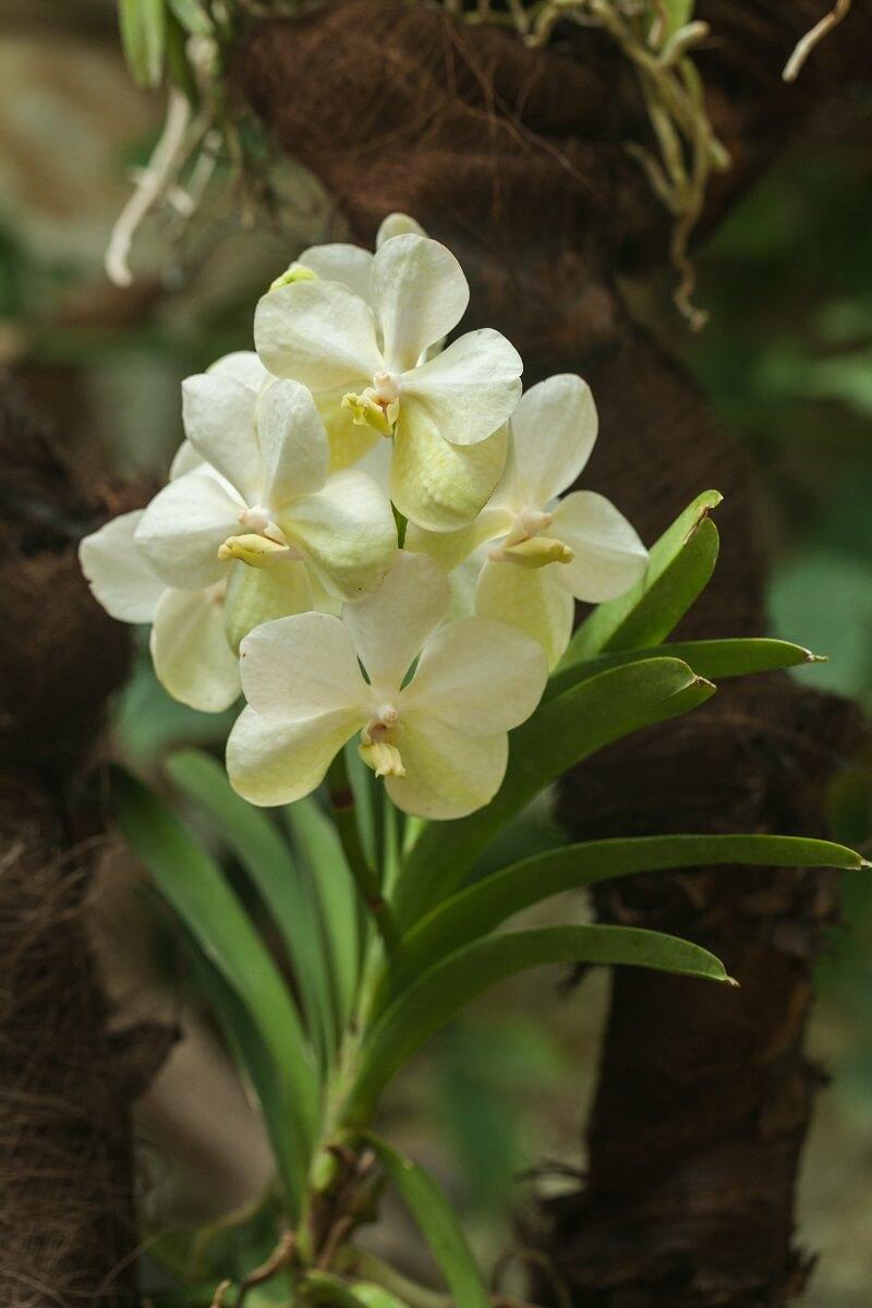 orchidee origine